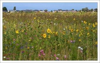 Заросли полевых цветов недалеко от Mont St. Michel.