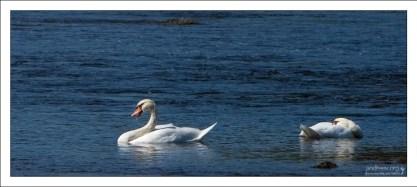 Лебеди на Луаре.