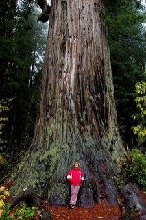 Big Tree Wayside. Redwood высотой 93 метра, и 6,5 метров в диаметре. Newton B. Drury Scenic Parkway.
