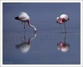 Андские фламинго, прочесывающие водоем.