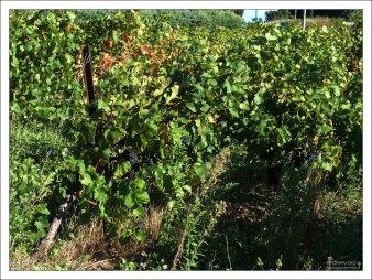 Виноградная плантация на обочине одной из сельских дорог.