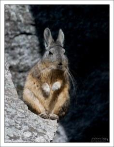 Горная вискача - грызун семейства шиншилловых, внешне напоминает крупных кроликов после похмелья.