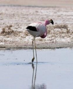 Андский фламинго по щиколодку в вязкой воде лагуны Chaxa.