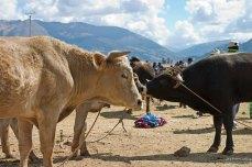 Очень ухоженные коровки и бычки.
