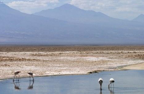 Андские фламинго на фоне гор на границе Чили и Боливии.