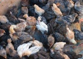 Вольер с подросшими цыплятами.