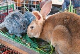 Мама-крольчиха с детишками необычного голубоватого цвета.