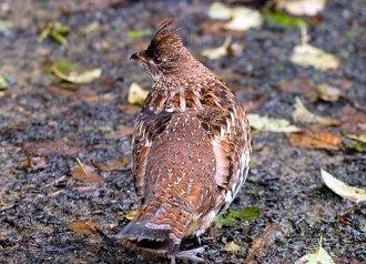 Бурая куропатка (Brown quail) на тропе Tall trees. Redwood National Park.