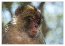 В настоящее время на Скале живет около 300 обезьян.