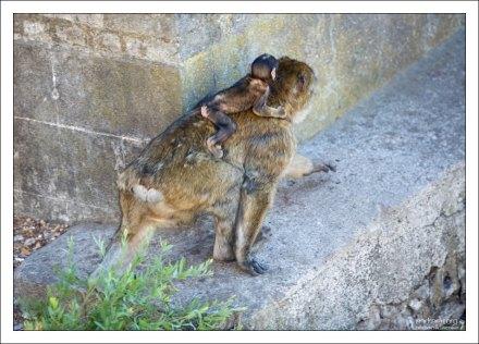 После вывода войск британского гарнизона, правительство Гибралтара взяло на себя ответственность за обезьян.