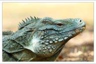 Blue iguana - редкий вид ящериц из рода Циклуры (Cyclura lewisi).