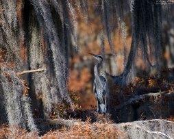Молодая цапля Great Blue heron среди клочьев испанского мха.