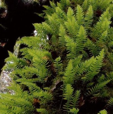 Папоротники-эпифиты, растущие прямо на стволе гигантского клена. Redwood National Park.