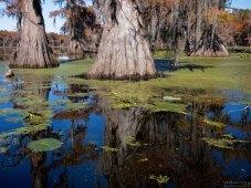 Возраст каждого из кипарисов, растущих на озере, составляет не менее 100 лет. Есть и 700-летние старожилы.