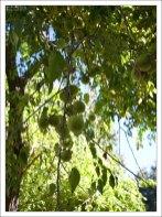 Адамовы или Лошадиные яблоки (Maclura pomifera) на территории Королевской Андалузской школы верховой езды.