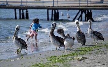 Перуанские пеликаны резвятся на пляже вместе с детишками.