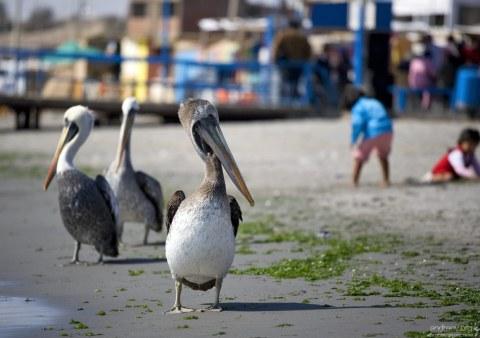 Перуанские пеликаны (Peruvian Pelican, Pelecanus thagus) почти в два раза больше обычных коричневых.