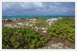 """Scaevola sericea а-ля """"пляжная капуста"""" на северном мысе острова."""