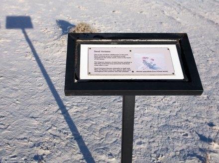 Табличка, указывающая на куст Абронии (Sand verbena).