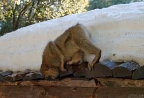 Бесхвостая обезьяна среди снегов Африки.