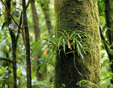 Бромелии-эпифиты и дерево-хозяин.