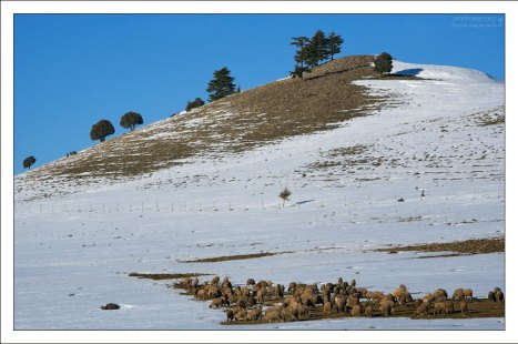 Снежные прогалины и овечья отара.