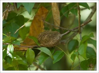 Гнездо колибри в диаметре 5-7 см.