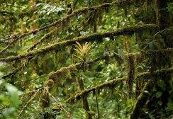 Бромелия-эпифит во влажном тропическом лесу.