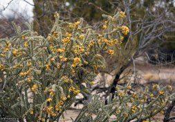 Cane cholla - один из самых распространенных видов кактусов на юго-западе США. Elephant Butte Lake State Park.