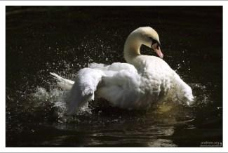 Лебедь на водных процедурах. Парк Пена.