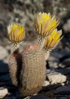 Радужный кактус - один из самых редких видов в пустыне (Golden Rainbow cactus).