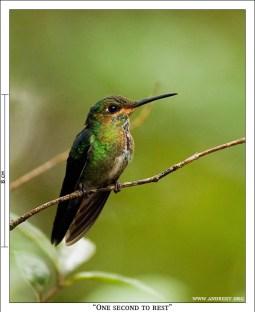 «Секунда на отдых». Самочка Allen's hummingbird в редкую секунду покоя.
