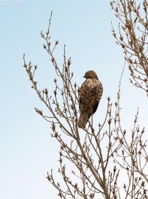 Молодой Cooper's Hawk (Ястреб Купера).