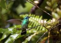 Колибри Green Violet-ear потягивается.