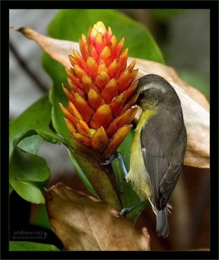 Бананаквит, тянущий нектар из цветущего имбиря.