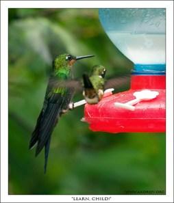 """""""Учись, сынок!"""" Большой колибри учит маленького как питаться из кормушки."""