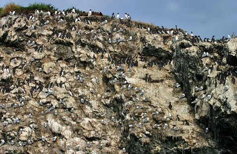 Поверхность скалы, занятая птицами.