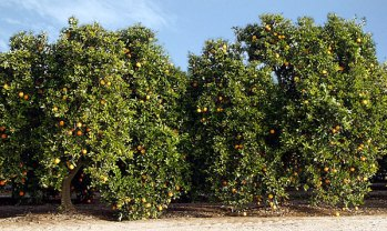 Апельсиновые деревья с плодами вдоль дороги в Sequoia National Park