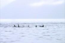 Выплывающие из тумана касатки (Killer Whales).