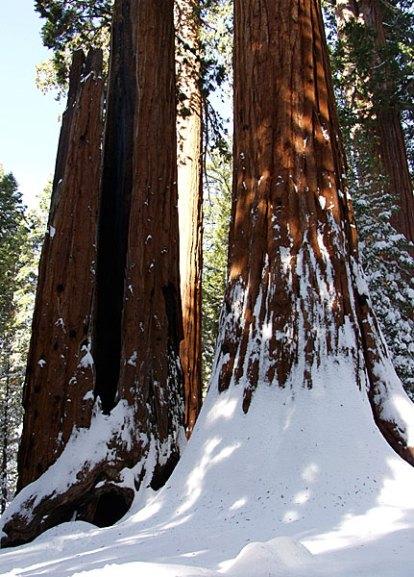 Лес из гигантских секвой.