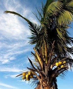 Пальма с плодами в Тулуме.