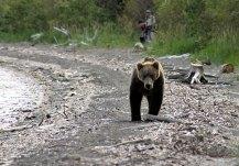 Неожиданный медведь навстречу.