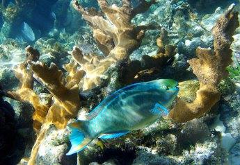 Рыба-попугай с частично покусанным хвостом. Hol Chan marine reserve, Барьерный риф.