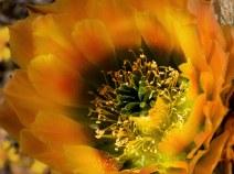 Внутри бутона радужного кактуса (Rainbow cactus).