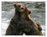 """""""Потанцуем?"""" Что самое вкусное у партнера по танцам? Правильно – ухи! :) Именно зажевыванием ушей друг у друга и занимаются эти два прелестных экземпляра медвежьего мира. Стоять оба могут с трудом, опершись на товарища. Хорошая была накануне вечеринка."""