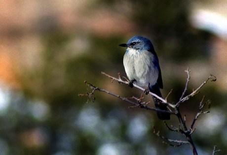 """Маленькая птичка с неромантичным названием """"Синий дубонос""""."""