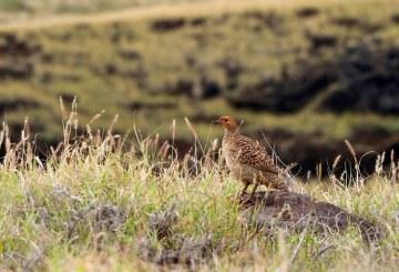 Самочка фазана, почти сливающаяся с фоном (Ring necked Pheasant female).