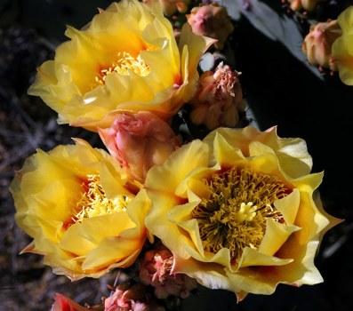 Классические бутоны грушевидного кактуса.