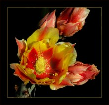 Бутон грушевидного кактуса с пыльцой.