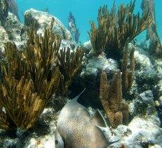 Рыба морской ангел (Angelfish) на фоне коралловой стены.